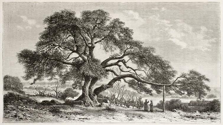 Palesztin tölgy (Quercus coccifera, ill. calliprinos)
