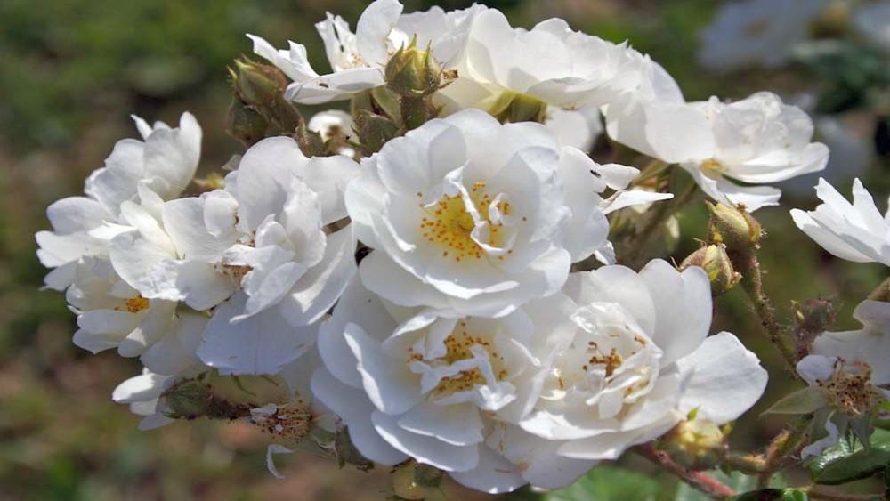 Föníciai rózsa (Rosa phoenicea)