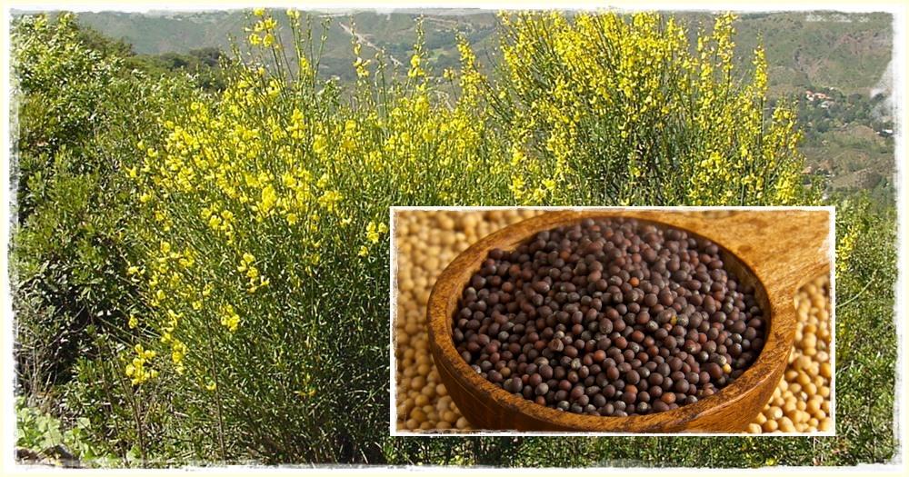 Fekete, francia mustár (Brassica nigra) - Héberül: charedál (kerúv sáchór)
