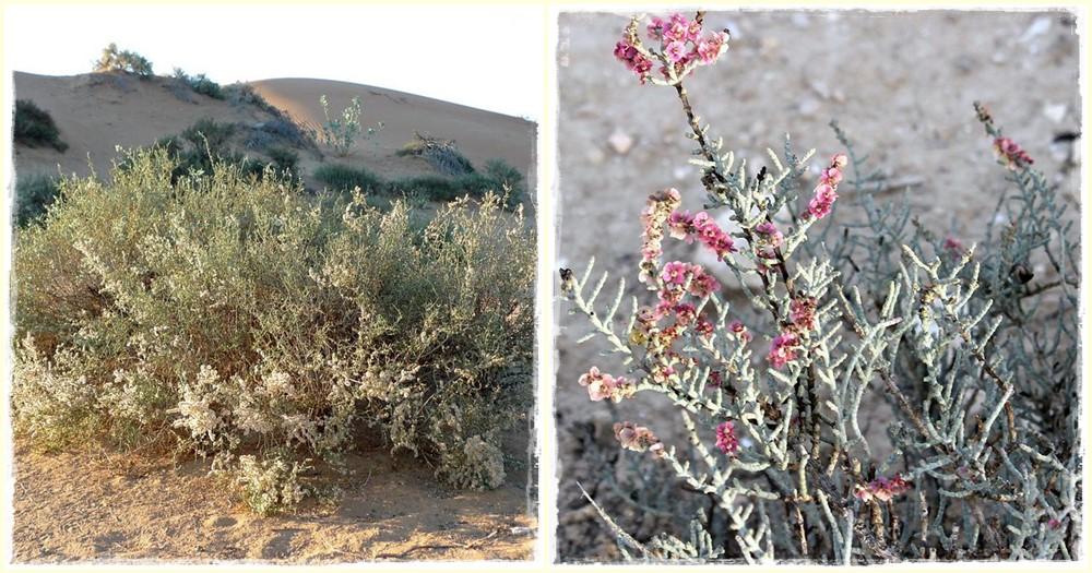 Szarvacskás sócserje (hammada salicornia)