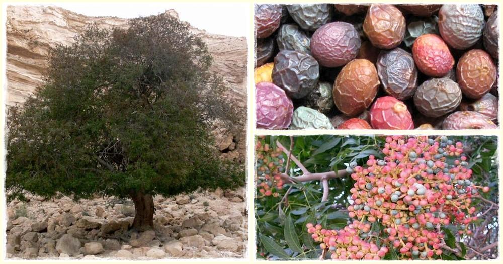 Atlanti pisztácia, atlanti terebintfa (pistacia atlantica)