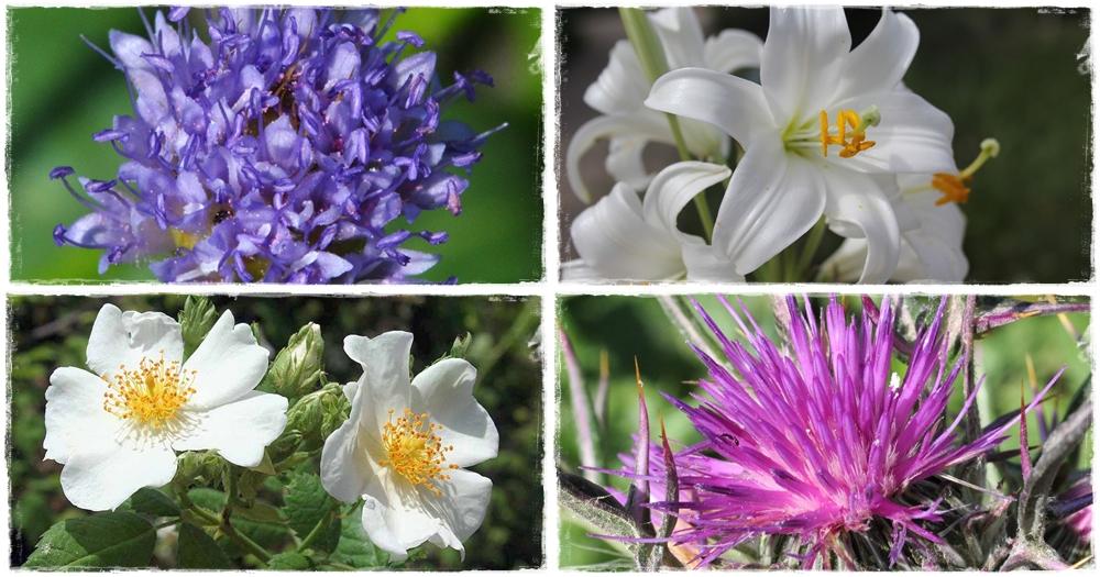 A liliom a legismertebb bibliai növény, még Jézus is nevén nevezi.