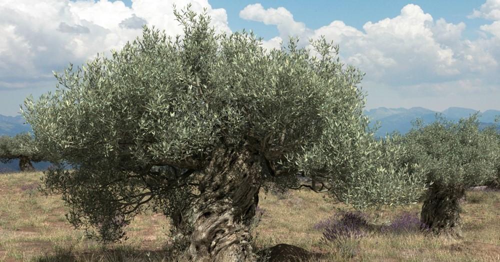 Olajfa (Olea europaea)
