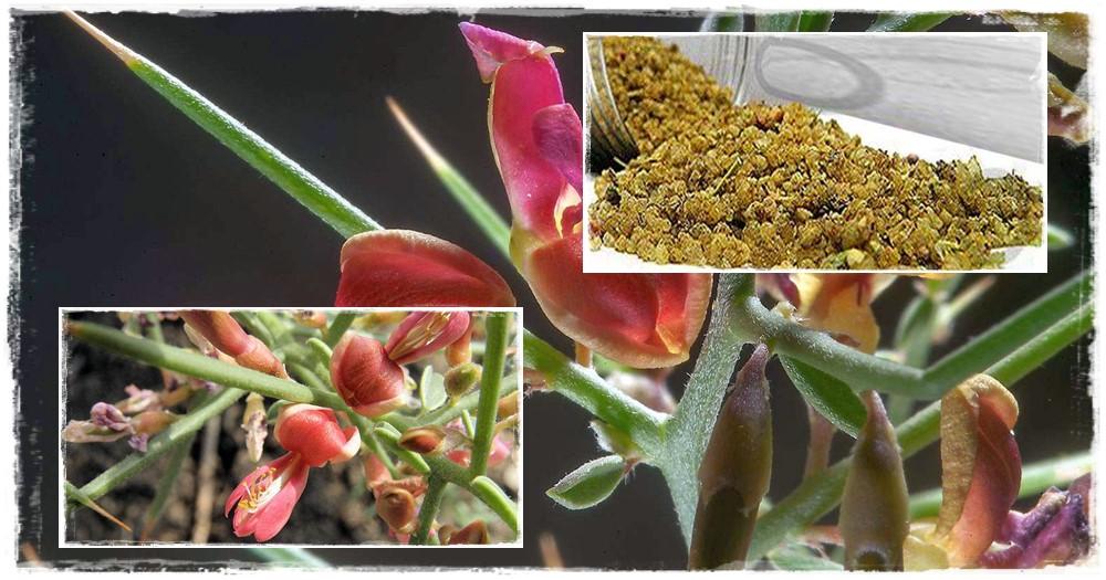 Perzsa tevetövis, perzsa manna, mannatövis (Alhagi maurorum)