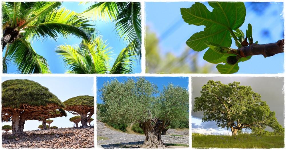 A fügefa a nyár hírnöke