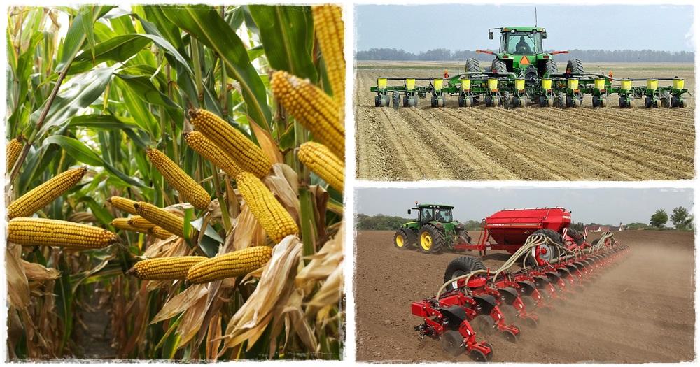 Kukoricavetés - Száraz földben nem indul meg a csírázás
