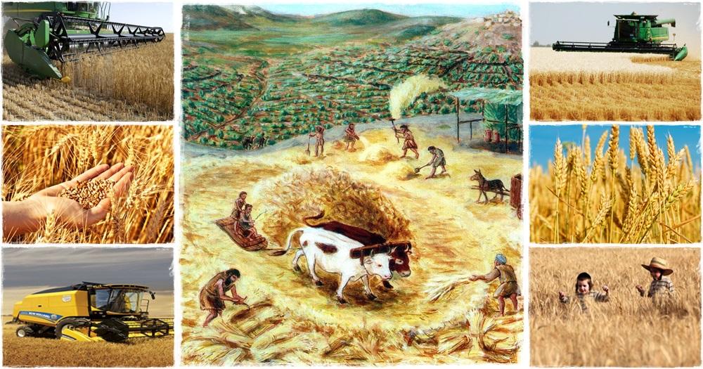 Gabonaaratás Jézus korában és napjainkban