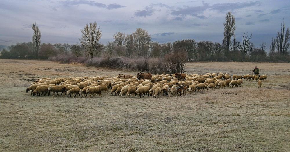 """Az Úr az én pásztorom, nem szűkölködöm..."""" - A juhok téli takarmányozása"""