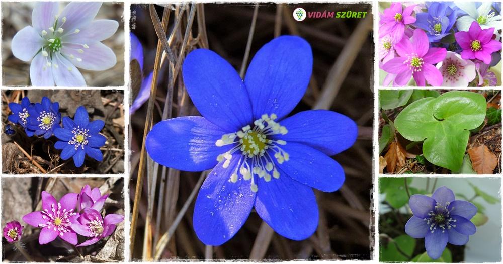 2020-ban a nemes májvirág (Hepatica nobilis) lett az év vadvirága!