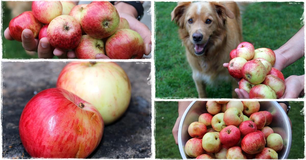Aratásra mindenütt beérik a finom vitamindús nyári alma, mely héjával fogyasztva kiváló rostforrás is