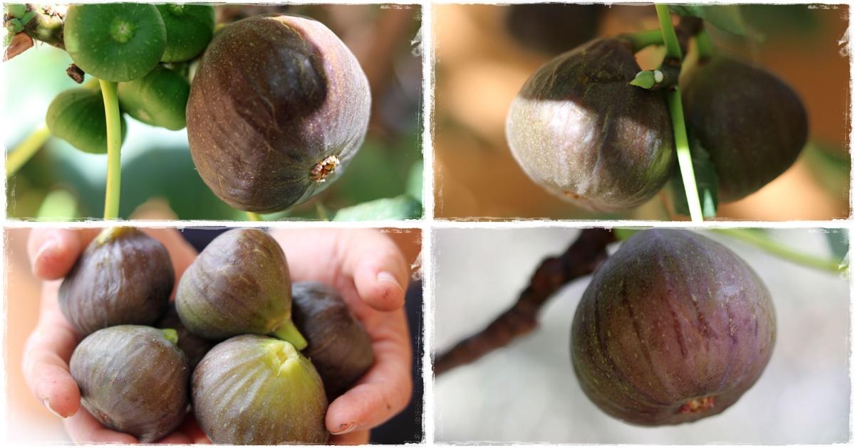 """""""A fügefa érleli első gyümölcsét..."""" Énekek 2,13"""