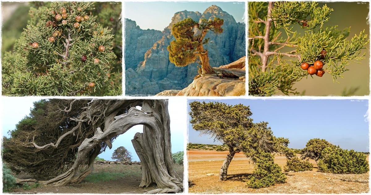FŐNICIAI BORÓKA (juniperus phoenicea)