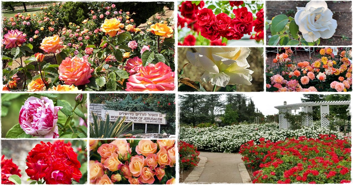 Jeruzsálemi Wohl Rose Park